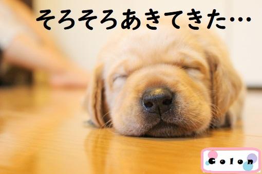 フローリングに伏せて目を閉じる犬